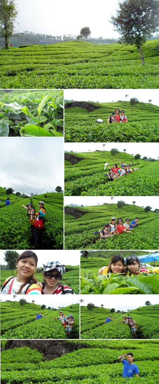 039 TEA GREEN FIELD